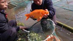 红崖山水库红鲤鱼