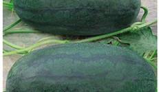 生態種植園——西瓜采摘