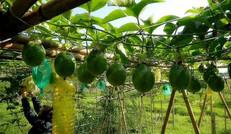 生態種植園——百香果采摘