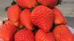 生态种植-草莓