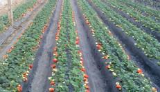 快要成熟的草莓