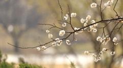春天的景色——干枝梅