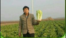 白菜采摘園