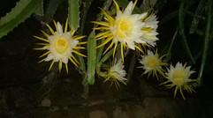 种植火龙果的花