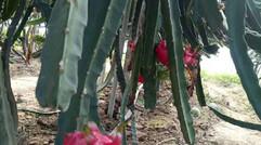 火龙果的种植环境