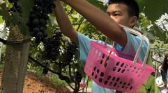 漁水清生態園葡萄種植區