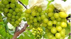 生態園優質葡萄