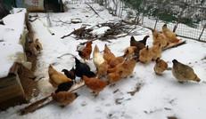 福山居民宿散养土鸡