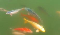 生態園養殖的魚兒