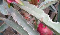 自然成熟的热带水果