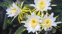 漂亮的火龙果花