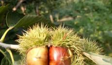 农场优质板栗种植