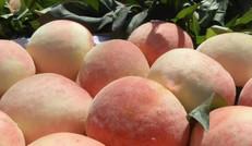 新鲜优质精品中华寿桃