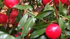 农场优质油桃采摘