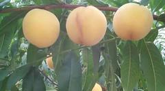 农场精品锦香黄桃