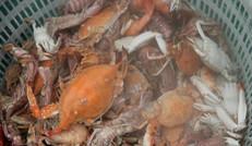 大    螃   蟹