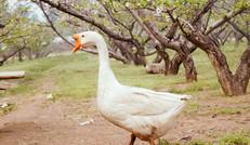 原生态大白鹅