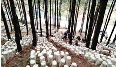 叢林     菌菇