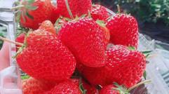 香甜可口的有機草莓