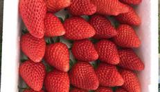 現摘現賣的草莓