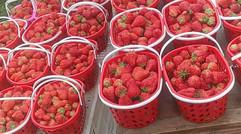 無污染 無公害新鮮草莓