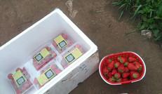 海川草莓銷售