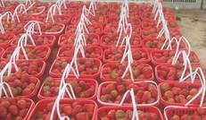 海川草莓銷售基地