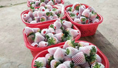 生態種植-草莓