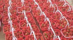 新鮮草莓 現摘現發