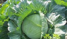 有機包菜,無農藥無化肥