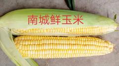 南城鲜玉米