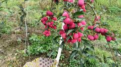 红 果  满 枝